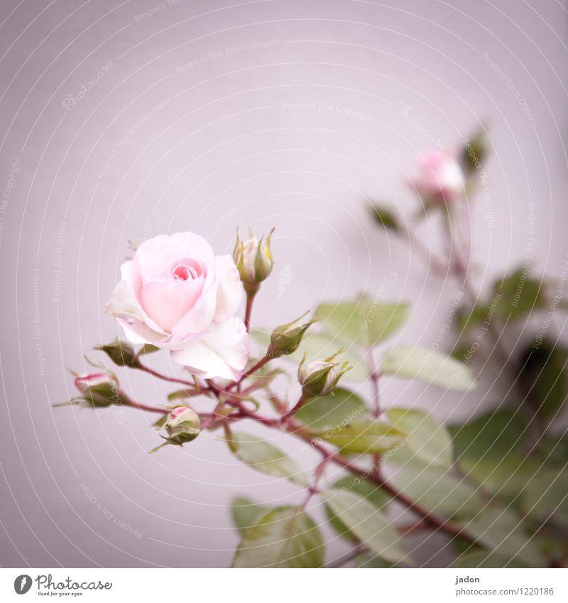 blumengruß. Duft Natur Pflanze Blume Rose Blatt Blüte Nutzpflanze Garten ästhetisch Erotik stachelig rosa Liebe Gruß Dorn Menschenleer Textfreiraum oben