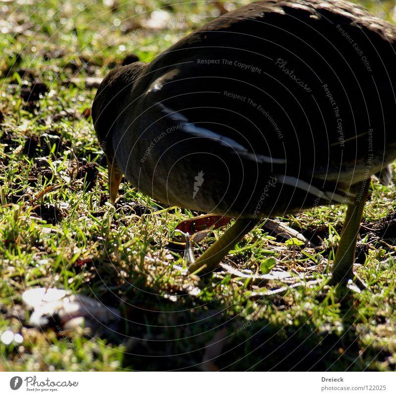 Wasserralle at work Vogel Gans Erpel gefiedert Schnabel grün braun rot gelb weiß Tier Wiese Gras watscheln Bach See Teich tauchen Teichralle Ente Feder