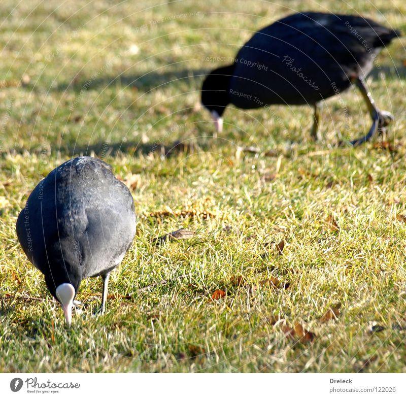 Blässralle² at work Natur blau weiß grün rot Tier Landschaft gelb Wiese Ernährung Gras See Vogel braun orange Feder