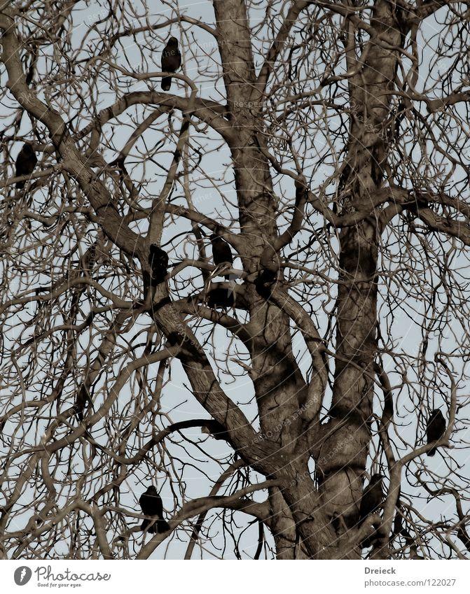 Krähenkonferenz Vogel Luft gefiedert Schnabel schwarz dunkel braun Tier Baum Sträucher Blatt Baumkrone Rabenvögel Aasfresser Himmel fliegen Feder Schönes Wetter