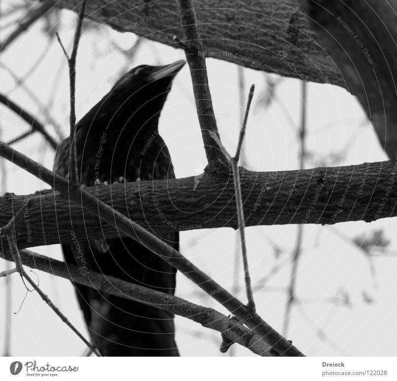 Aaskrähe Vogel Luft gefiedert Schnabel schwarz dunkel braun Tier Baum Sträucher Blatt Baumkrone Krähe Rabenvögel Aasfresser Himmel fliegen Feder Schönes Wetter