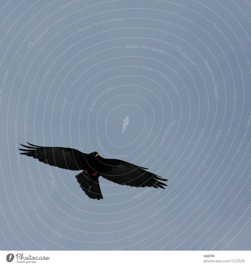 alpendohle schwarz Tier Freiheit Vogel elegant fliegen frei Feder Flügel Wildtier Mobilität Schnabel Dohle Alpendohle