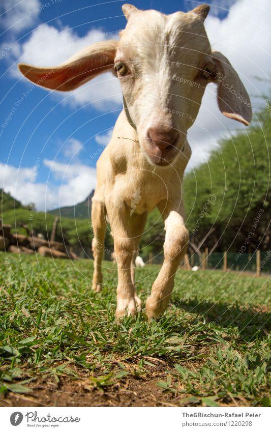 Ziege Tier Nutztier Streichelzoo blau braun gelb grau grün schwarz weiß Ziegen Tierjunges Ohr Gras Weide Baum Auge Horn Nase lustig Blick in die Kamera Spielen