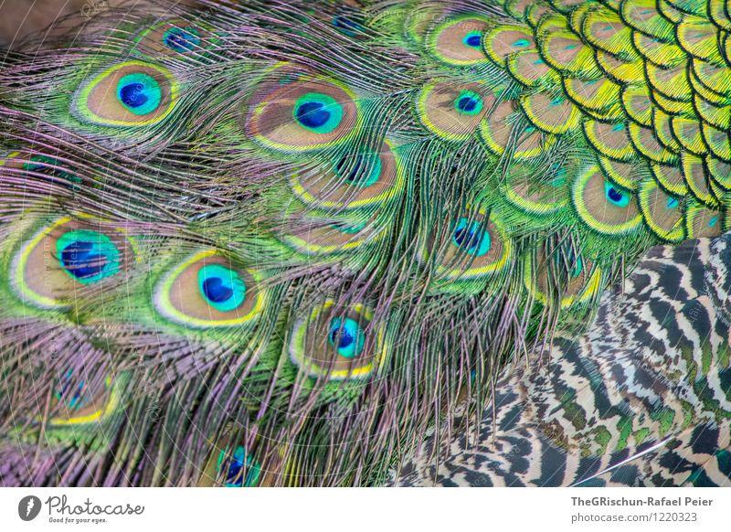 Bunt Tier blau mehrfarbig gelb grün schwarz türkis weiß Metallfeder schön Strukturen & Formen Muster Pfau Pfauenfeder Auge Nähgarn tierisch Vogel Farbfoto