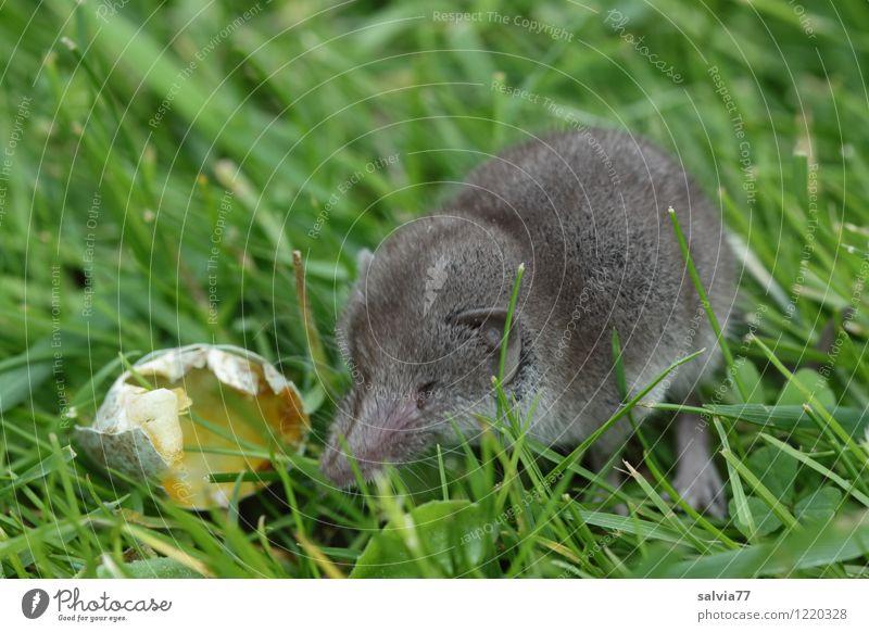 Naschmaus Natur Tier Gras Wiese Wildtier Maus Spitzmaus 1 Essen krabbeln sitzen frech frisch klein lecker Neugier niedlich Spitze grau grün Appetit & Hunger