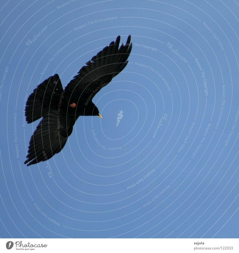 alpendohle II Freiheit Tier Vogel Flügel 1 fliegen frei schwarz Bewegung Mobilität Alpendohle Dohle Schnabel Feder Schweiz Farbfoto Gedeckte Farben