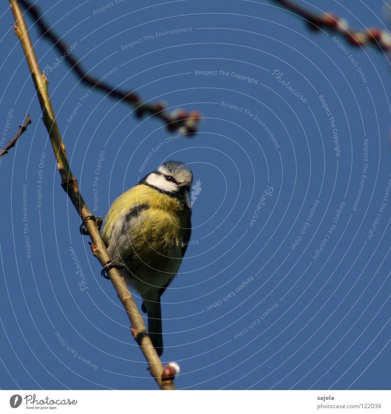 blaumeise Himmel weiß Auge Tier gelb kalt Vogel Umwelt Tiergesicht Feder beobachten festhalten niedlich Meisen Blaumeise