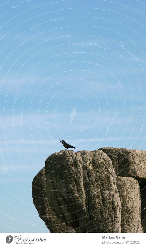 Einsamer Vogel Amsel grau Einsamkeit stehen Aussicht Luft Felsen Stein Himmel blau Zweig sitzen warten Blick oben hoch