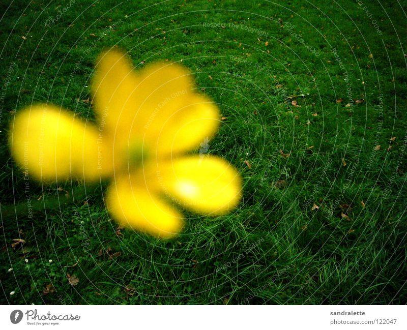 Butterblümchen grün Sommer gelb Wiese Gras Park Hintergrundbild Rasen vorwärts Konzentration Löwenzahn rückwärts Sommertag Vordergrund