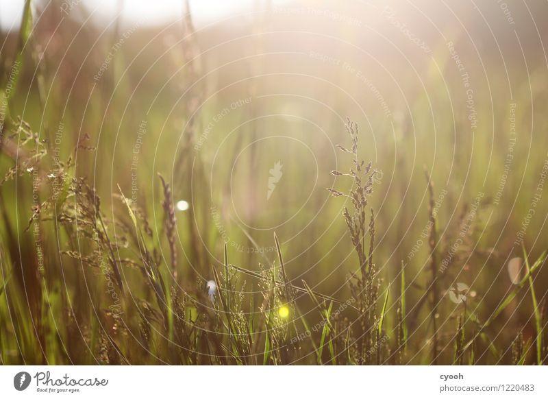 saftige Juniwiesen Natur Pflanze grün Sommer Landschaft Leben Wiese Gras Zeit Freiheit Stimmung hell Zufriedenheit Wachstum frisch Idylle