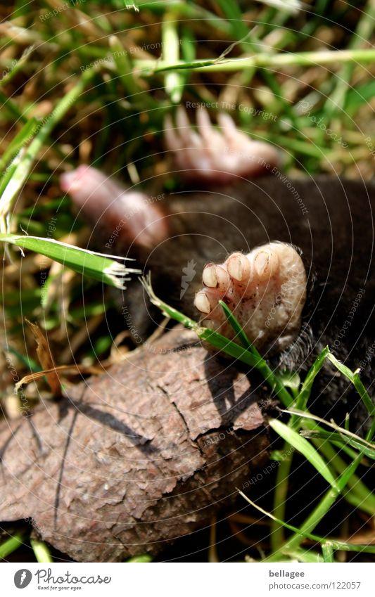 was der wohl träumt … wenn er noch träumt … Maulwurf auf dem Rücken Pfote Gras Tier Unfall blind umgefallen schlafen bewegungslos Vergänglichkeit Tod