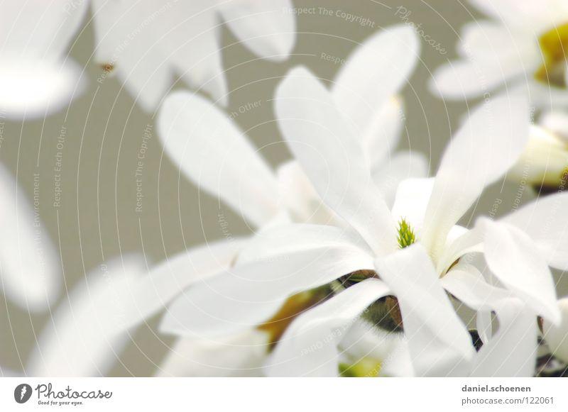 Magnolien weiß Baum Pflanze Blüte hell Hintergrundbild Blütenblatt Blume Monochrom Magnoliengewächse