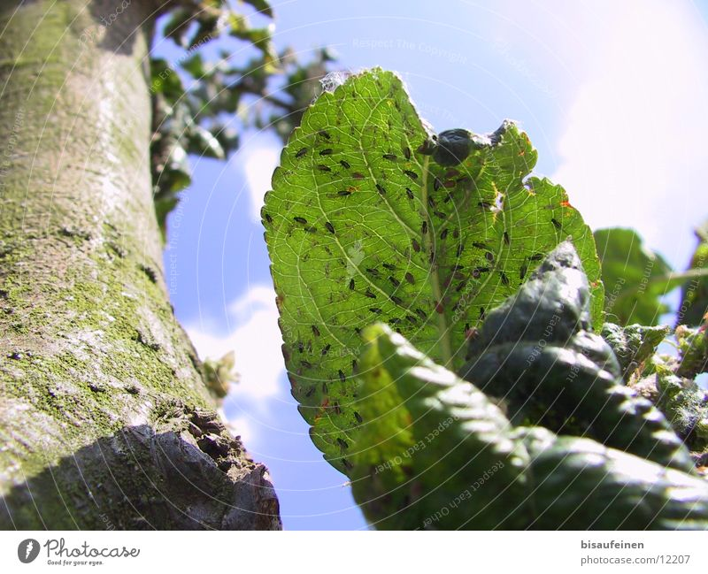 Verlaust Laus Blatt Baum Parasit Schädlinge Baumrinde Kühe der Ameisen Baumstamm