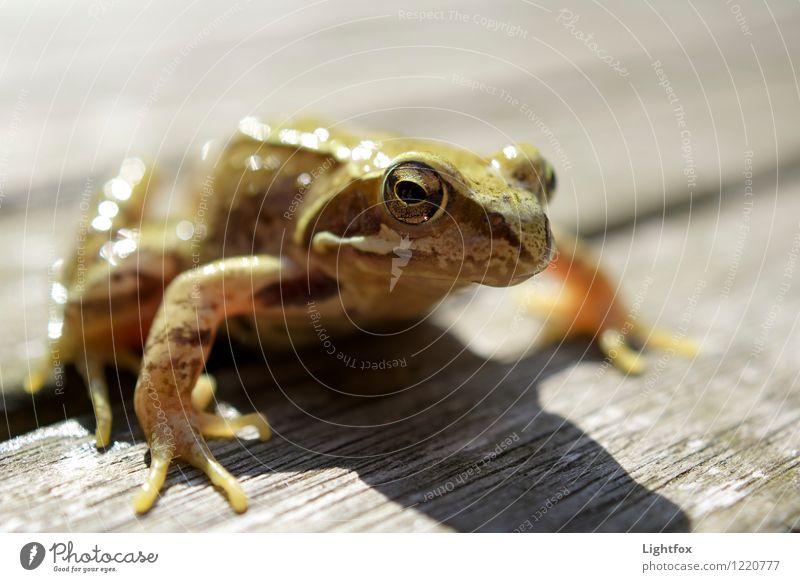 Hoppla hopp, hoppla hopp Tier Frosch Tropfen Globus braun Tierliebe bedrohlich Froschperspektive Natur Naturschutzgebiet Springen Amphibie Augen