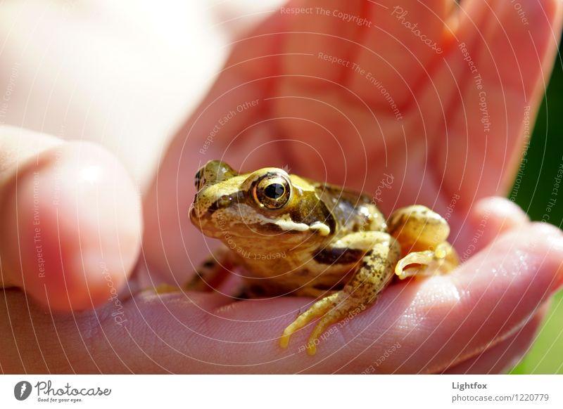 Froschn Tier 1 beobachten berühren wild braun Froschauge Froschkönig Auge Amphibie Hand Schutz Naturschutz Umweltschutz umweltfreundlich zart empfindlich