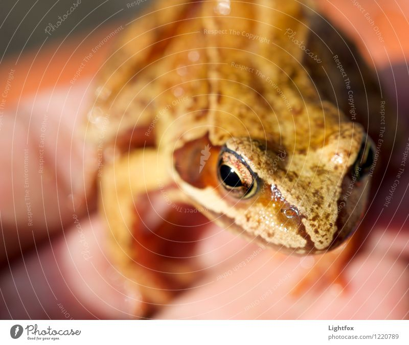 Froger Willemsen Tier Frosch 1 Tierjunges braun Froschperspektive Amphibie Hand Natur Umweltschutz umweltfreundlich Schädlingsbekämpfung Farbfoto Makroaufnahme