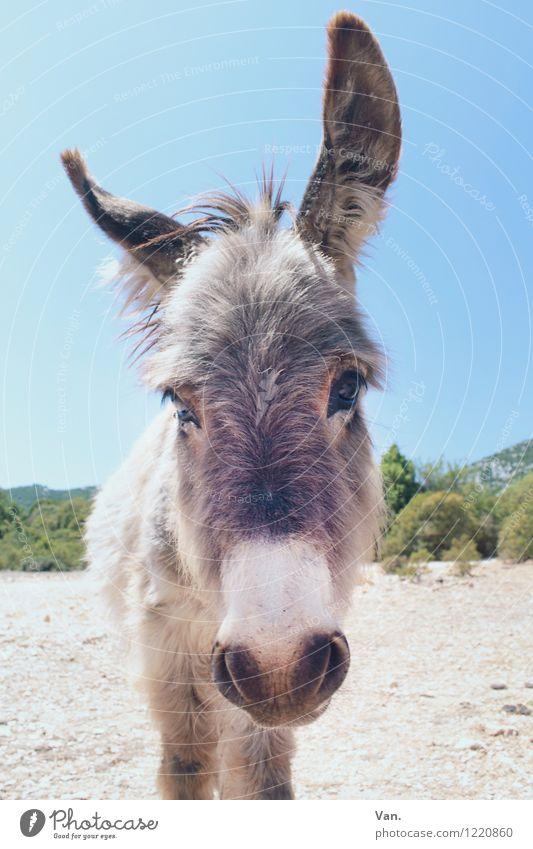 IA Natur Tier Himmel Sommer Pflanze Baum Sträucher Nutztier Tiergesicht Esel 1 Neugier grau Farbfoto mehrfarbig Außenaufnahme Menschenleer Tierporträt