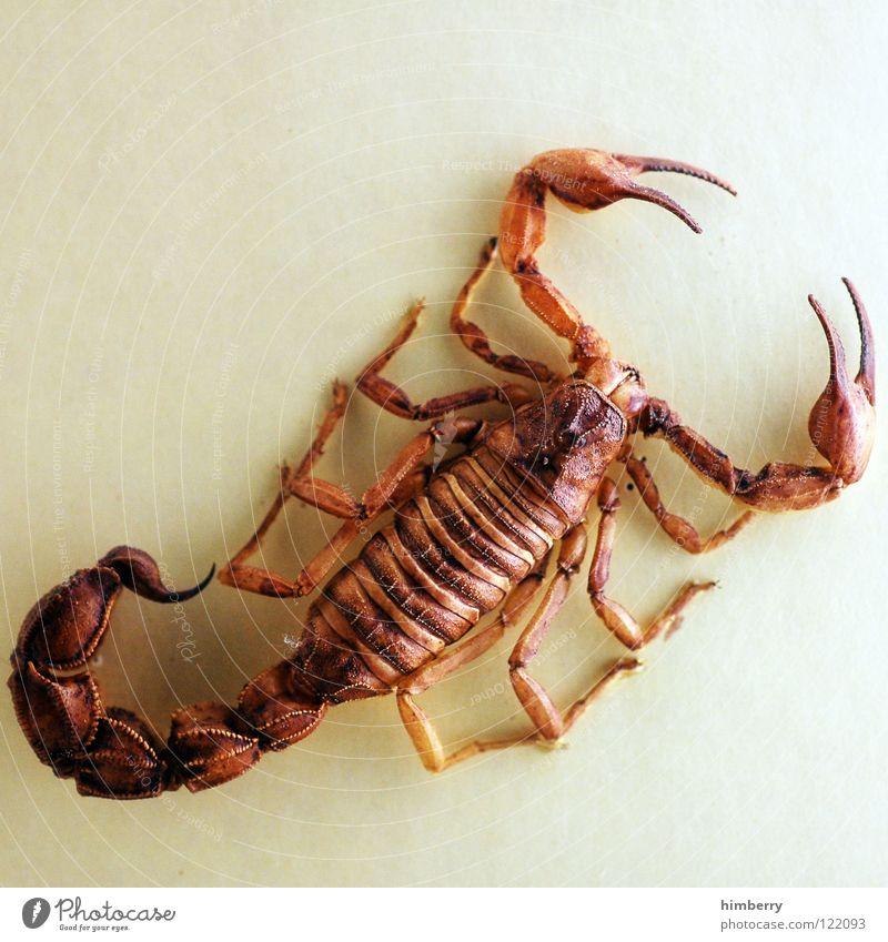 scorpioking Tier Tod Beine Angst gefährlich bedrohlich Wüste Spinne Panik Stachel Astrologie Südamerika fatal Gliederfüßer Tierkreiszeichen Skorpion