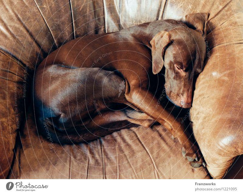 Deer Fell Leder Hund 1 Tier Geborgenheit Sessel Tiertraining schlafen Erholung zusammengerollt genießen niedlich Glück Jagdhund Hundekorb Schlafplatz liegen