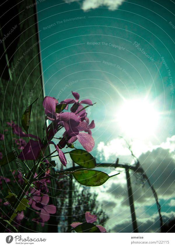 the unknown flower Blume Blüte Blatt Wolken Sonne Sonnenstrahlen Sommer dunkel schlechtes Wetter Außenaufnahme Baum Garage Wand Nachmittag Terrasse Mondviole