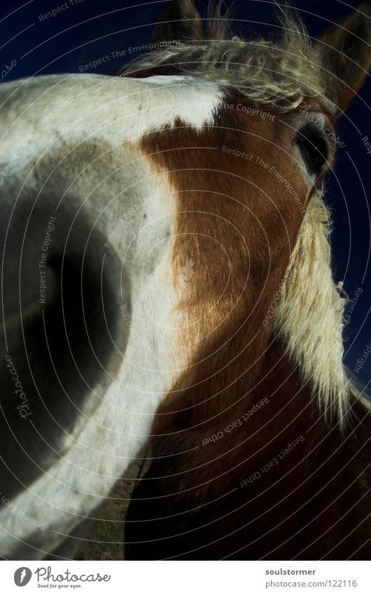 schau mir in die Augen! Pferd Mähne Weitwinkel Cowboy Pferdegangart Muster weiß braun grau Säugetier Tier Pferdchen Nahaufnahme Ohr Freiheit lange Nase