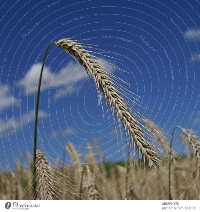 Ähre im blauen Himmel grün Sommer Wolken gelb Lebensmittel gold Getreide Kornfeld Futter Ähren himmelblau