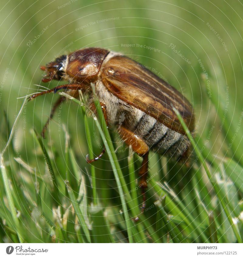 Junikäfer im Rasen Gras Halm Insekt Makroaufnahme dunkelbraun hellbraun grau weiß grün Sommer Nahaufnahme Käfer