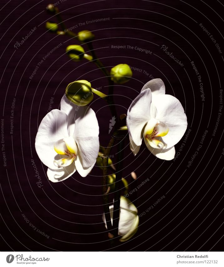 Orchidee weiß Pflanze schwarz gelb Blüte Blütenknospen Blütenblatt Blume Kelchblatt