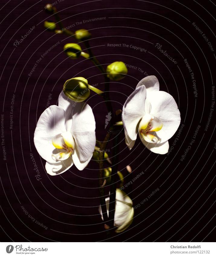 Orchidee weiß Pflanze schwarz gelb Blüte Blütenknospen Orchidee Blütenblatt Blume Kelchblatt