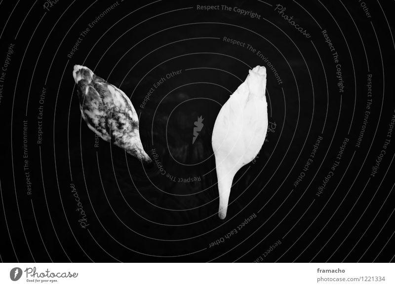 swans Umwelt Natur Tier Wasser See Wildtier Schwan 2 Tierjunges ästhetisch authentisch dunkel Zusammensein schön maritim natürlich Vertrauen ruhig träumen