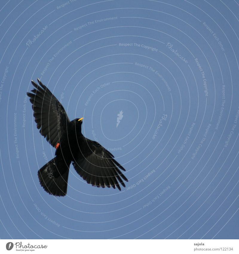 alpendohle III Himmel blau rot schwarz Tier gelb Freiheit Vogel fliegen frei Tiergesicht Feder Flügel Schweiz Mobilität Schnabel