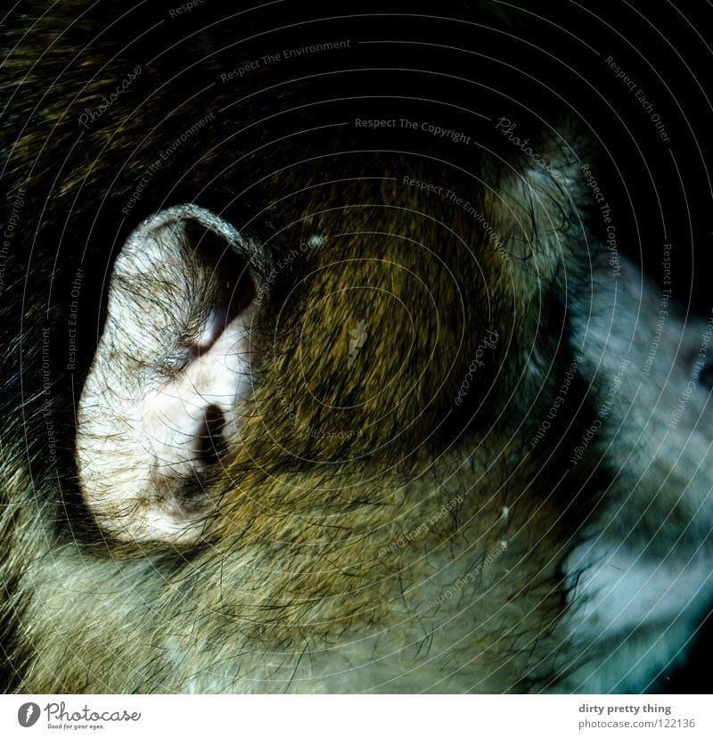 affenohr Tier Ohr nah Zoo hören Säugetier Affen