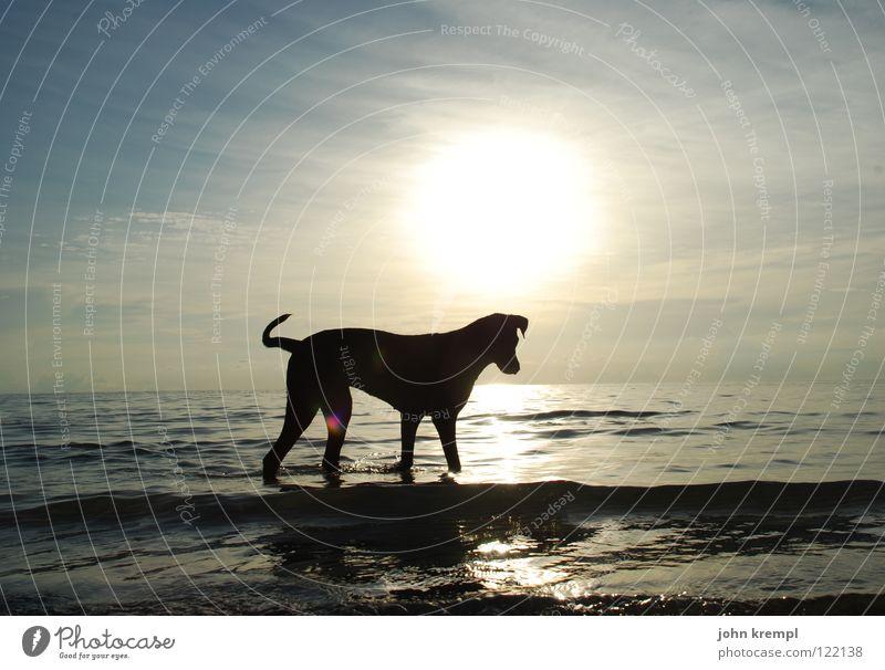 Hund am Strand laufen Säugetier Spaziergang wandern Sonnenuntergang Meer Ferien & Urlaub & Reisen Ko Tao Thailand Küste Asien Tölle Abend Abenddämmerung Wasser