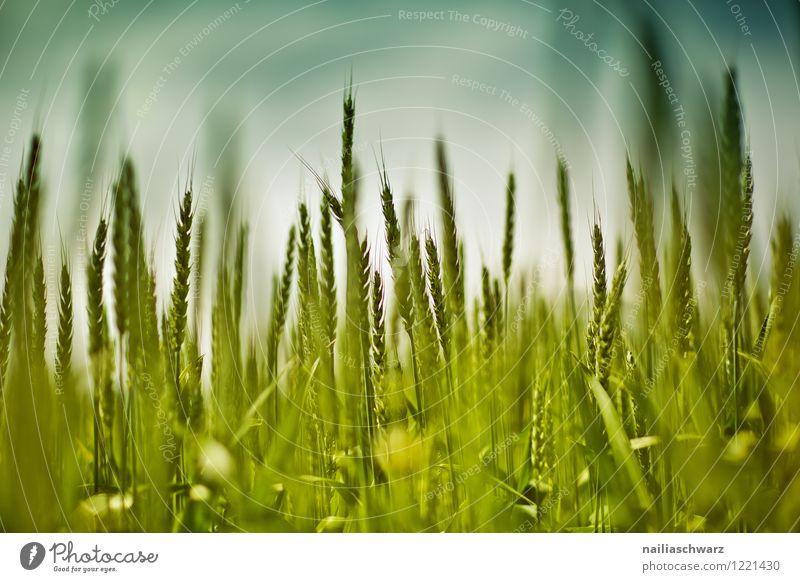 Weizenfeld im Fruehling Natur Pflanze blau grün schön Sommer Landschaft Umwelt Frühling Wiese Gras natürlich Feld Wachstum Idylle Mohn