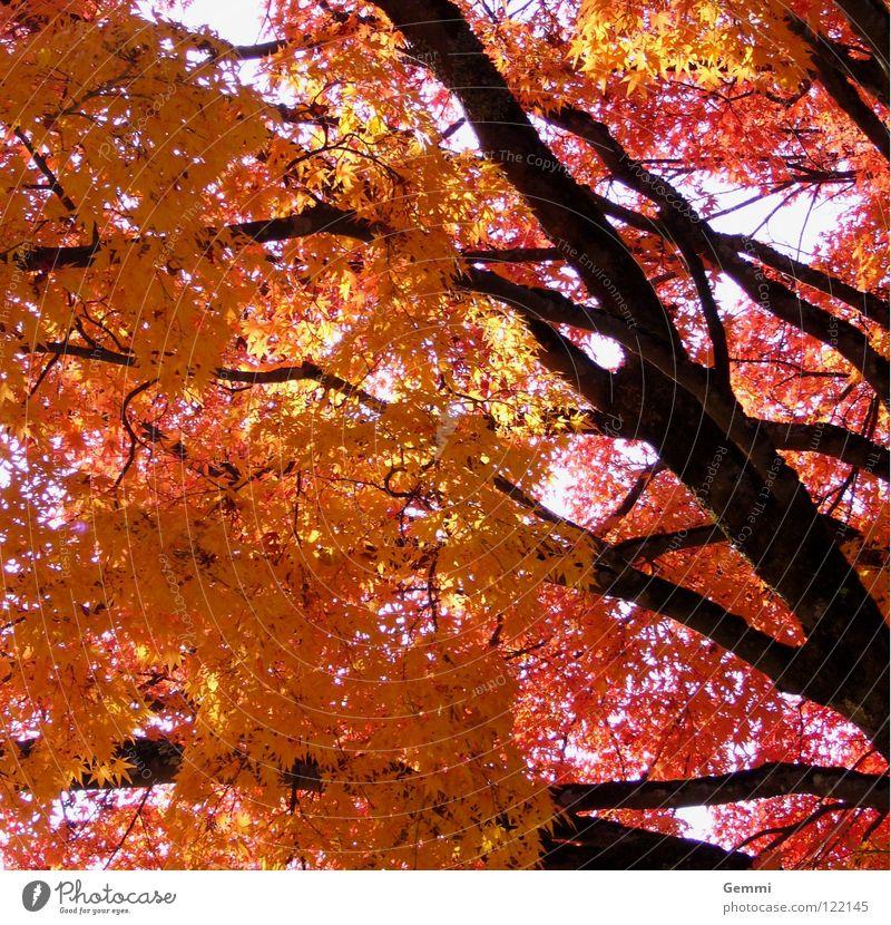 Herbstleuchten Japan Baum Ahorn rot gelb Blatt Herbstlaub Momiji Baumstamm
