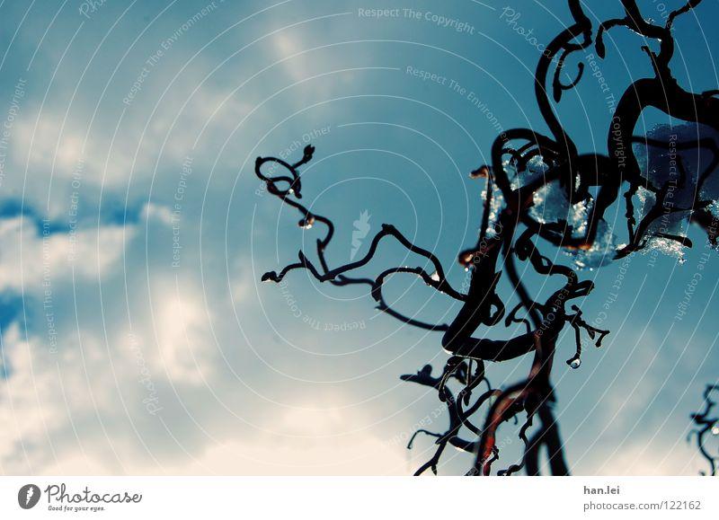 Korkenzieherweide Winter Schnee Pflanze Himmel Wolken schlechtes Wetter Eis Frost Sträucher kalt braun Korkenzieher-Weide gekrümmt wellig Ast Froschperspektive