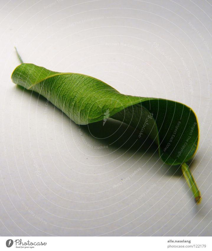 leaf crushed by microwave Blatt gerollt zusammengerollt kaputt Müdigkeit Schwäche fertig labil grün Pflanze Tod wickeln frisch einfach Erschöpfung mitgenommen