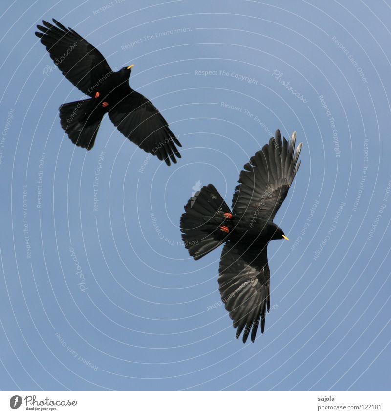 alpendohlen Himmel blau rot schwarz Tier gelb Freiheit 2 Zusammensein Vogel Tierpaar fliegen frei paarweise Feder Flügel
