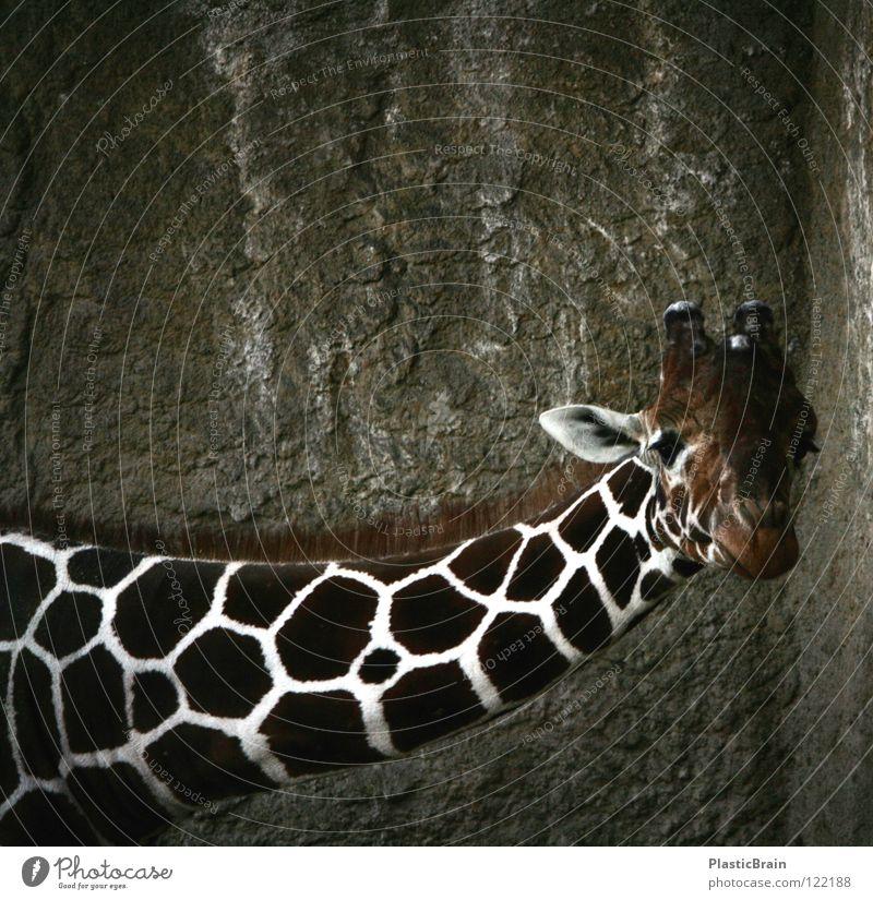 guckst du? Tier Zoo Käfig Säugetier Giraffe Hals Blick Kontrast