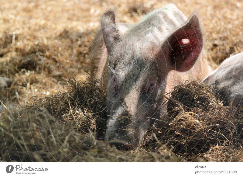 Siesta Erholung Tier natürlich Glück rosa liegen Zufriedenheit dreckig genießen Lebensfreude schlafen Wellness Wunsch Gelassenheit Bioprodukte Appetit & Hunger