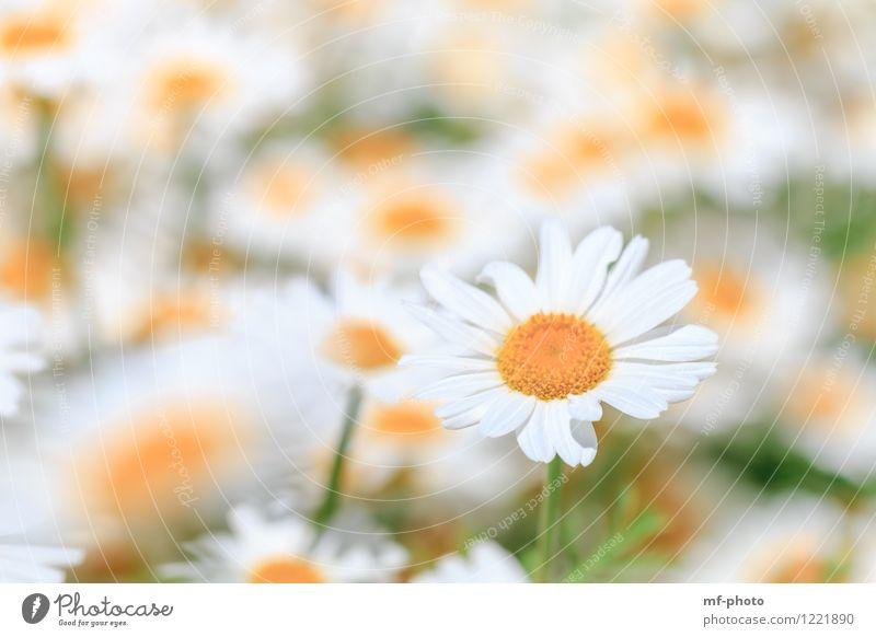 Margeriten Natur Pflanze Sommer Blume Blüte Garten Wiese gelb grün weiß Blumenwiese Heilpflanzen Farbfoto Außenaufnahme Menschenleer