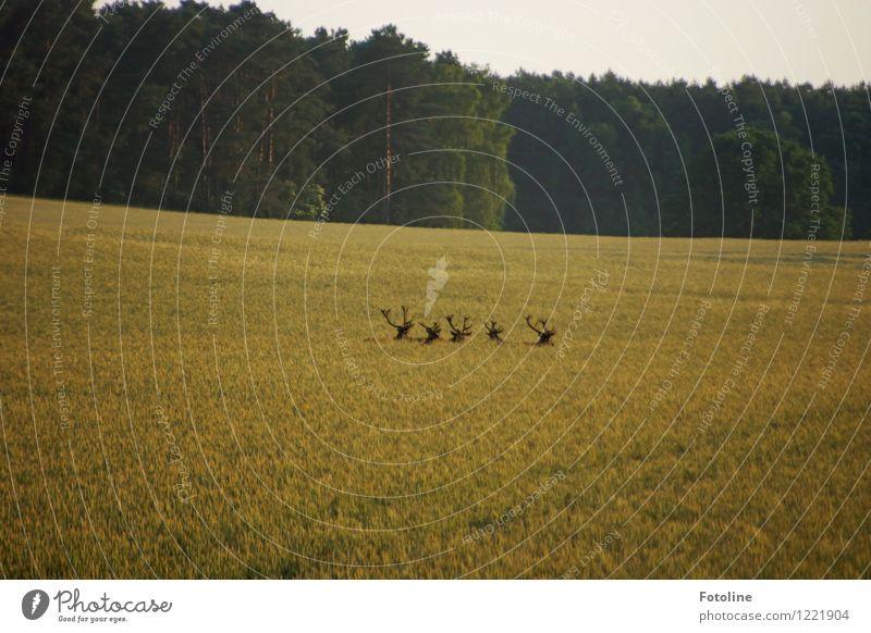 Wo gings lang? Himmel Natur Pflanze Sommer Landschaft Tier Wald Umwelt natürlich Feld Wildtier wandern frei laufen Wolkenloser Himmel Horn