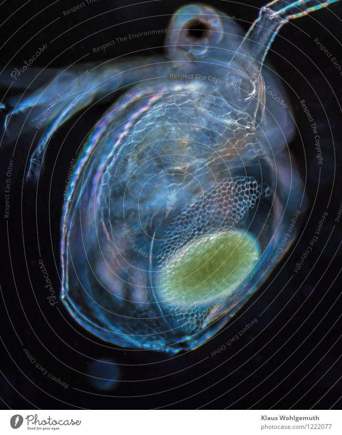 Eiertanz Tanzen Tänzer Umwelt Natur Tier Wasser Frühling Sommer Winter Wasserfloh Krebstier 1 Schwimmen & Baden blau grün schwarz Mikroskop mikroskopisch