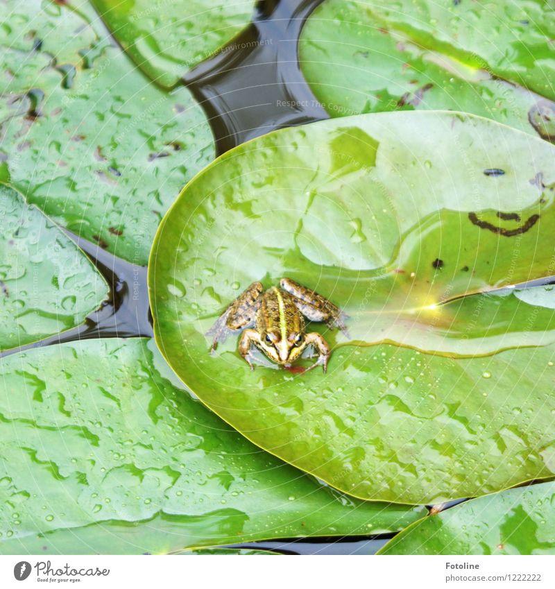 Küss mich! Umwelt Natur Landschaft Pflanze Tier Urelemente Wasser Wassertropfen Blatt Teich Frosch 1 nass natürlich grün Seerosenblatt Regen Froschkönig