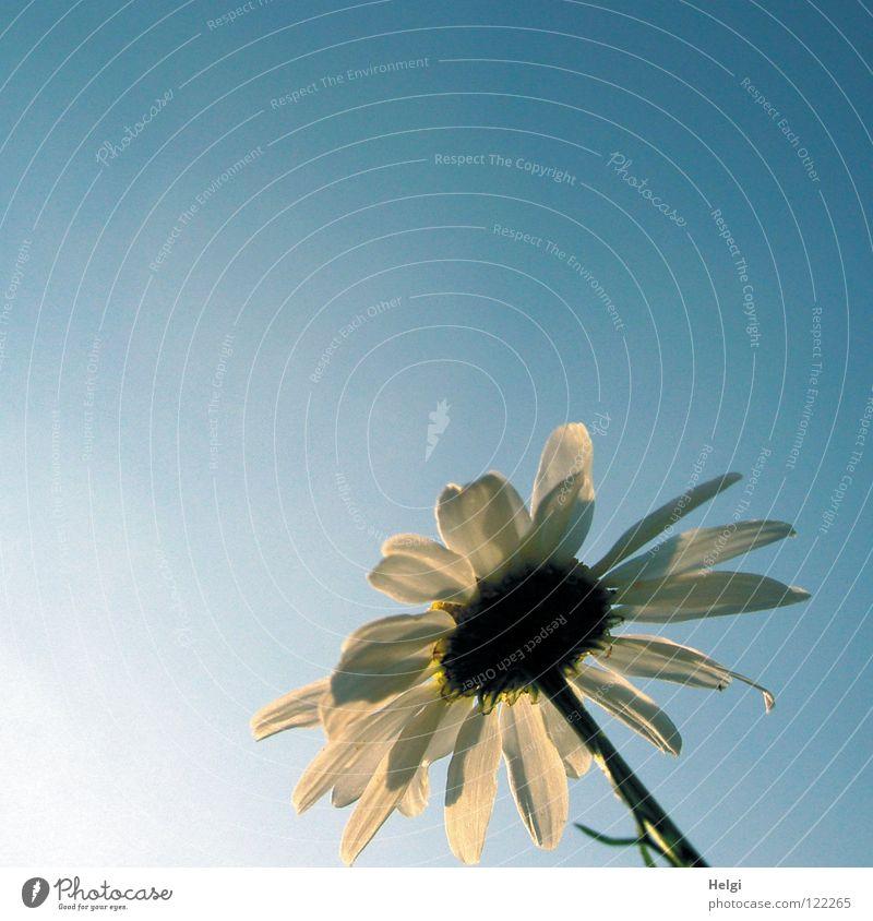 Rückansicht einer Margaritenblüte im Sonnenlicht vor blauem Himmel Sommer Blume Blüte Pflanze Blütenblatt Stengel hoch Blühend Licht Zusammensein nebeneinander