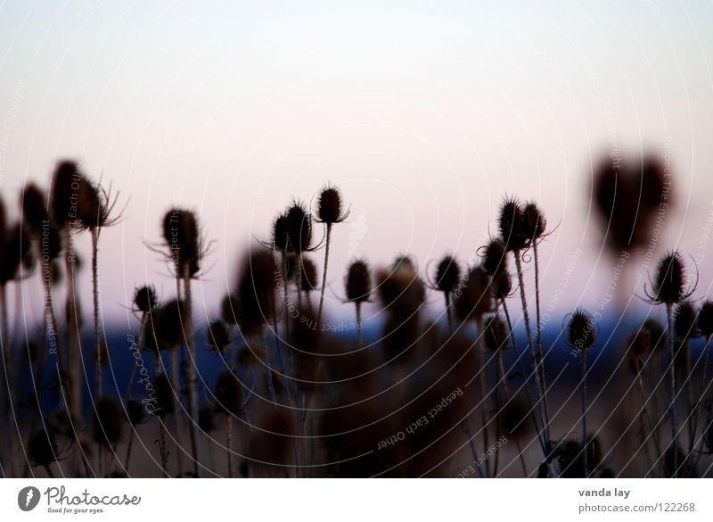 Karden (Dipsacus) Distel Feld Landwirtschaft Sonnenuntergang Unschärfe mehrere stechen Kardendistel Korbblütengewächs Pflanze Natur viele Abend Spitze Wolfskamm