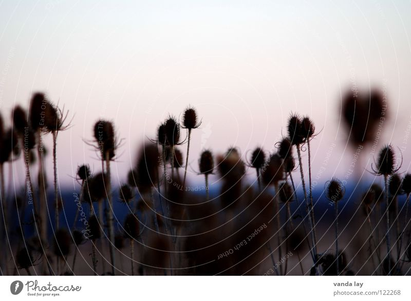 Karden (Dipsacus) Natur schön Pflanze Feld mehrere Spitze Landwirtschaft viele ökologisch stechen Wildnis Korbblütengewächs Distel Kardendistel