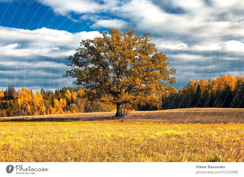 Goldener Herbst der Eiche auf dem Gebiet in einem Wald schön Pflanze Himmel Wärme Baum Blatt hell natürlich blau gelb gold grün rot Farbe organisch Feld