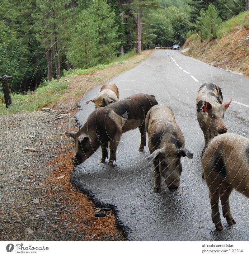 4 1/2 Sau Schwein nass Baum Grunzen Ferkel Tier fahren Schnauze schwarz weiß braun grau Straße Regen Fleck pig Geruch Ohr