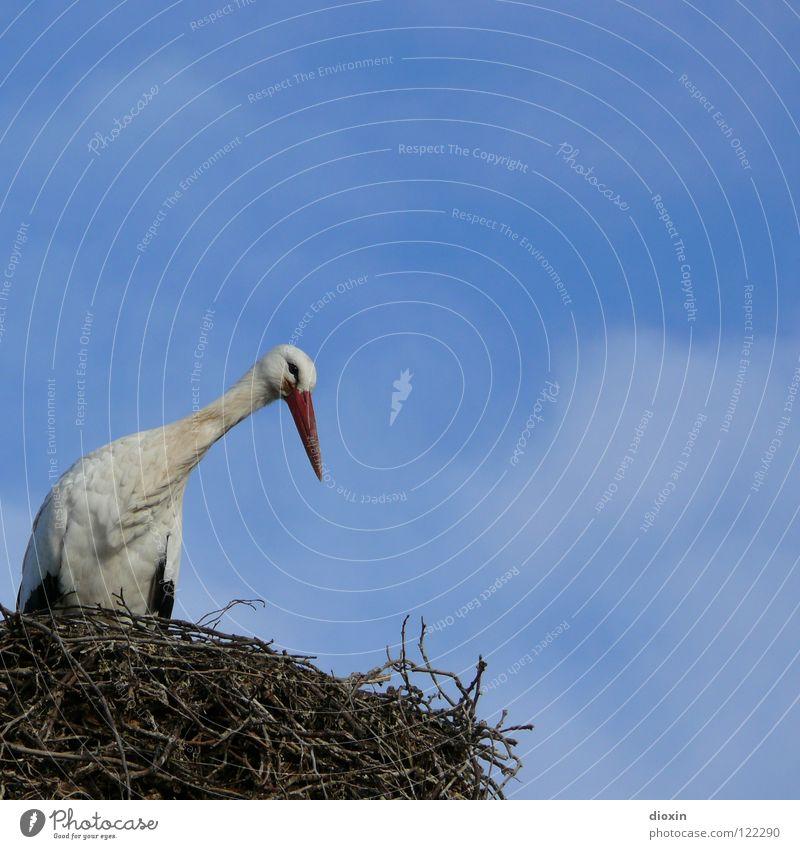 Babylieferservicezentrallager #1 Storch Weißstorch Schreitvögel Zugvogel Vogel Nachkommen Nest Sträucher Nestwärme Geburt Geborgenheit blau Adebar Feder fliegen